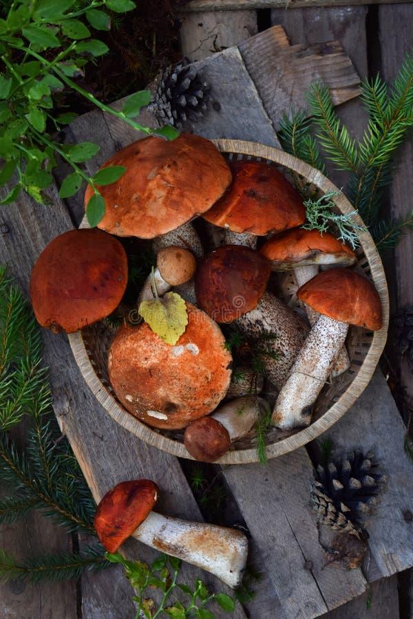 Uppsättning av röd locksopp i bunke på träbakgrund Bruna lösa champinjoner Ätlig svamp Leccinum Aurantiacum som samlas i skog fotografering för bildbyråer