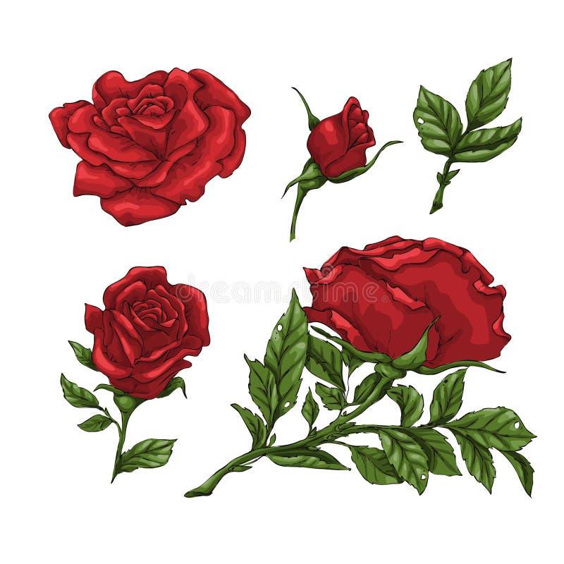Uppsättning av röd rosblomma, knopp och sidor Isolerat på den vita vektorillustrationen royaltyfri illustrationer