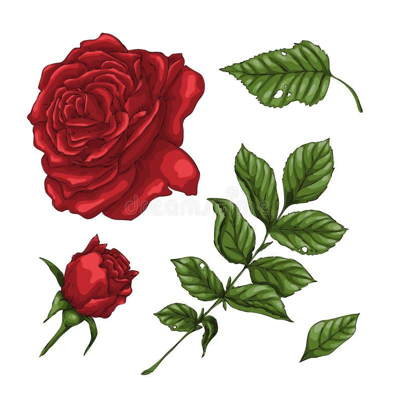 Uppsättning av röd rosblomma, knopp och sidor Isolerat på den vita vektorillustrationen vektor illustrationer