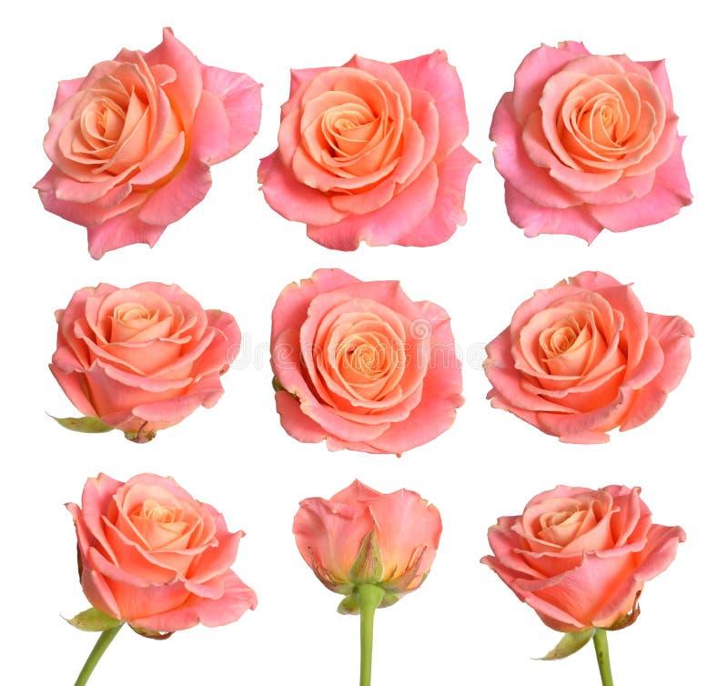 Uppsättning av rosa färger med orange rosor bakgrund isolerad white royaltyfria bilder