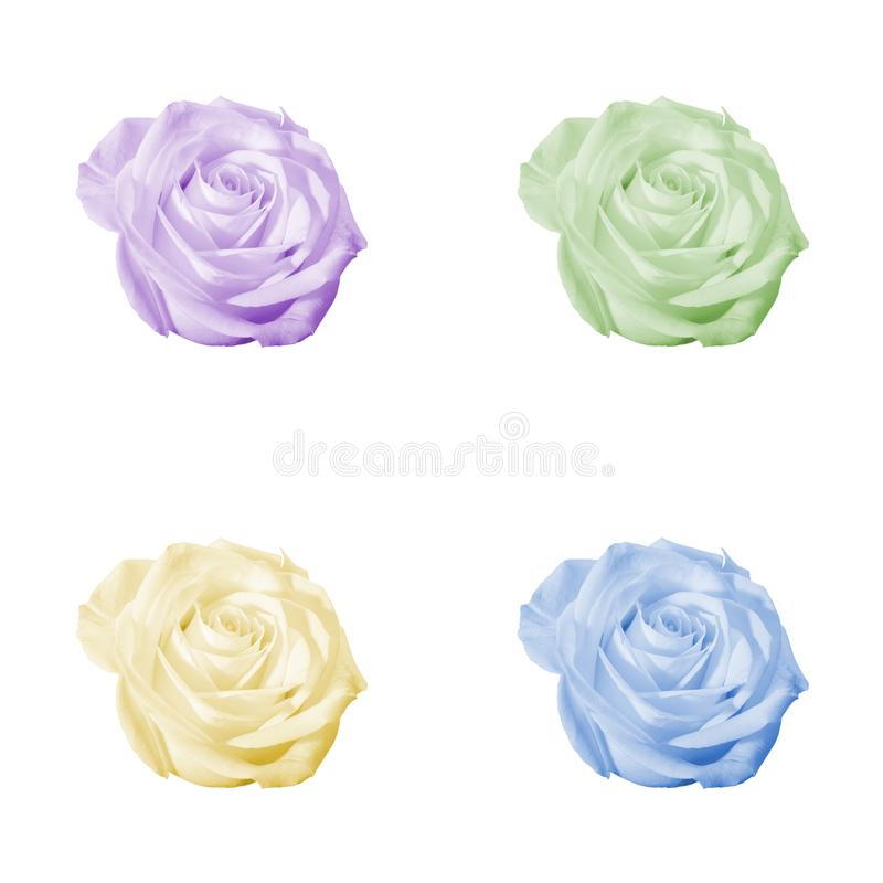 Uppsättning av rosor som isoleras på vit fotografering för bildbyråer