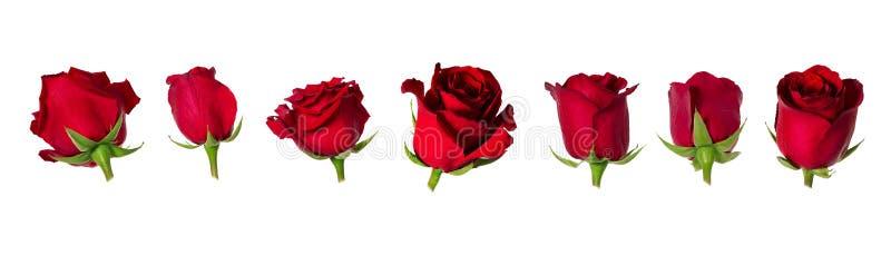 Uppsättning av sju härliga röda rosflowerheads med foderbladar som isoleras på vit bakgrund fotografering för bildbyråer