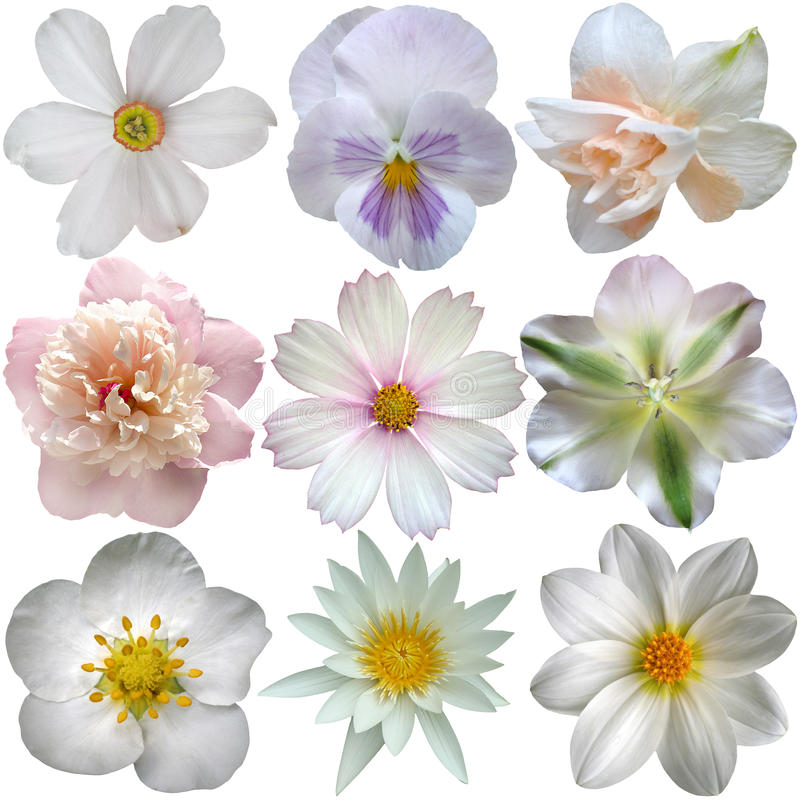 Uppsättning av vita vårblommor royaltyfri bild