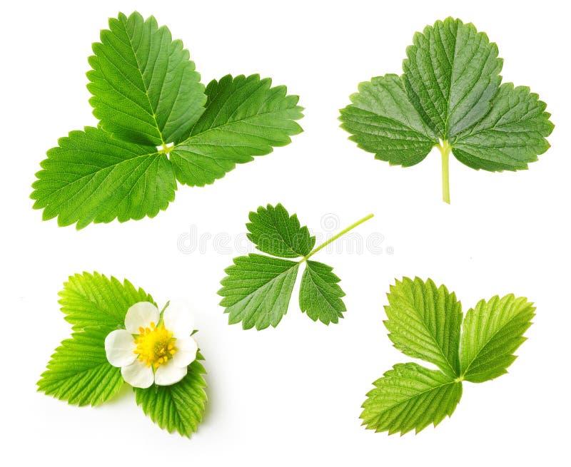 Uppsättning för för bärjordgubbeblad och blomma royaltyfri fotografi