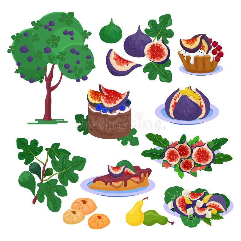 Uppsättning för friskhet för illustration för mat för fikonträdvektor ny frukt- och för mogna fikonträd sund organisk söt efterrä royaltyfri illustrationer