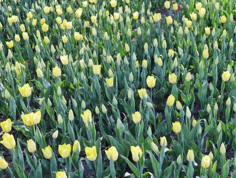 Uppsättningen av härliga gula tulpan i en vår parkerar royaltyfria foton