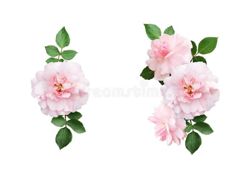 Uppsättningen av rosa färgros blommar och sidasammansättningar arkivfoto