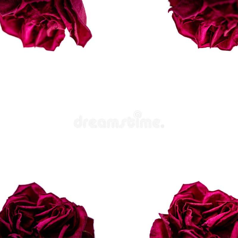 Upps?ttning av r?da roskronblad som isoleras p? vit Makro arkivbilder