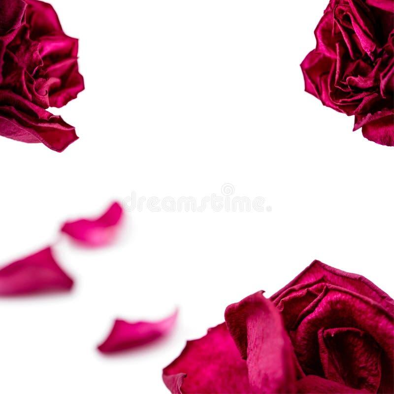 Upps?ttning av r?da roskronblad som isoleras p? vit Makro royaltyfri bild