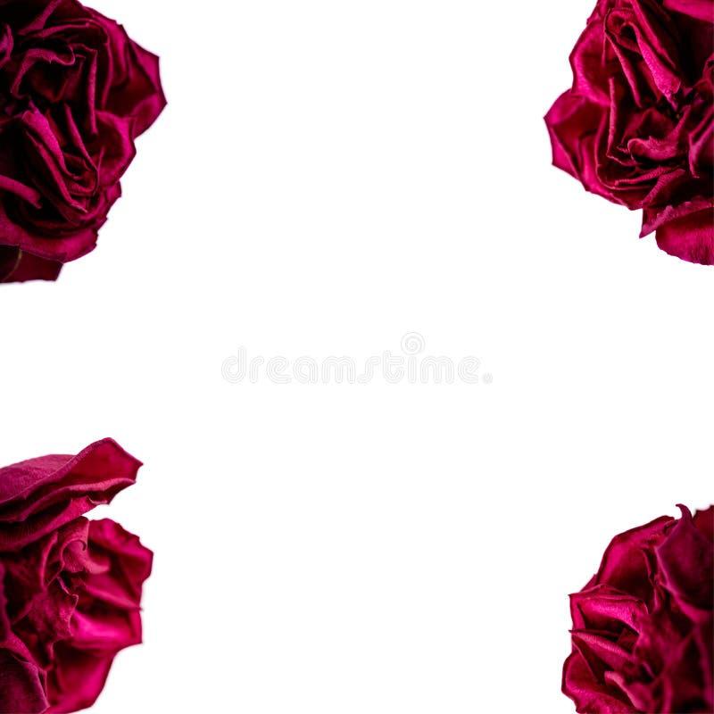Upps?ttning av r?da roskronblad som isoleras p? vit Makro royaltyfri fotografi
