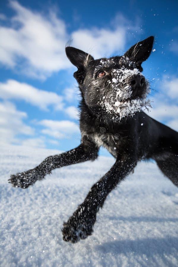 Uppsluppen banhoppning för svart hund för glädje över ett snöig fält royaltyfri foto