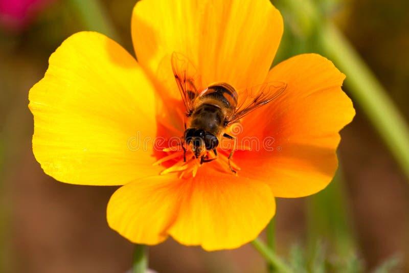 Upptaget bi på en blomma arkivbild
