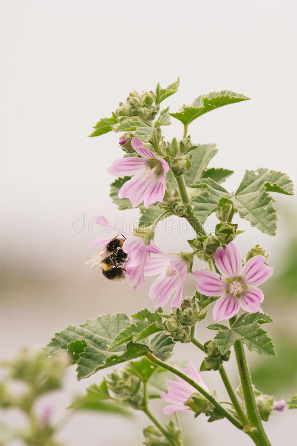 Upptaget samlande pollen för humla från en malvablomma arkivfoto