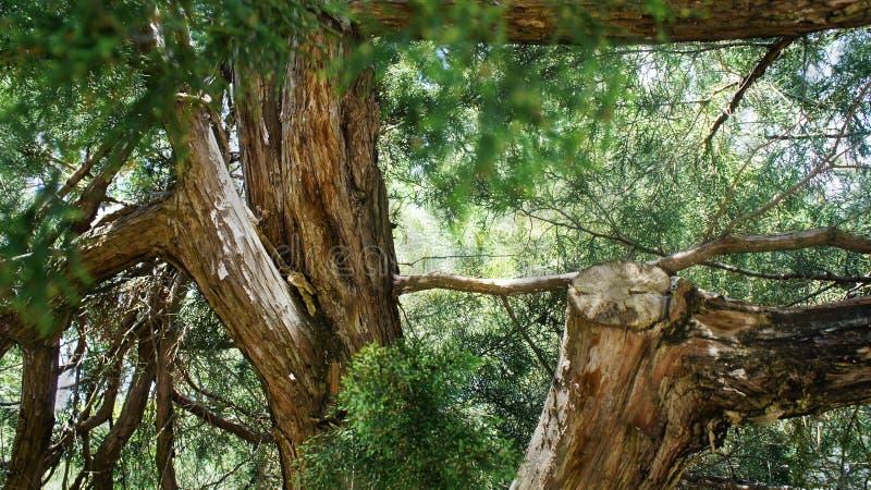 Upptill bland härliga barrträd arkivfoton