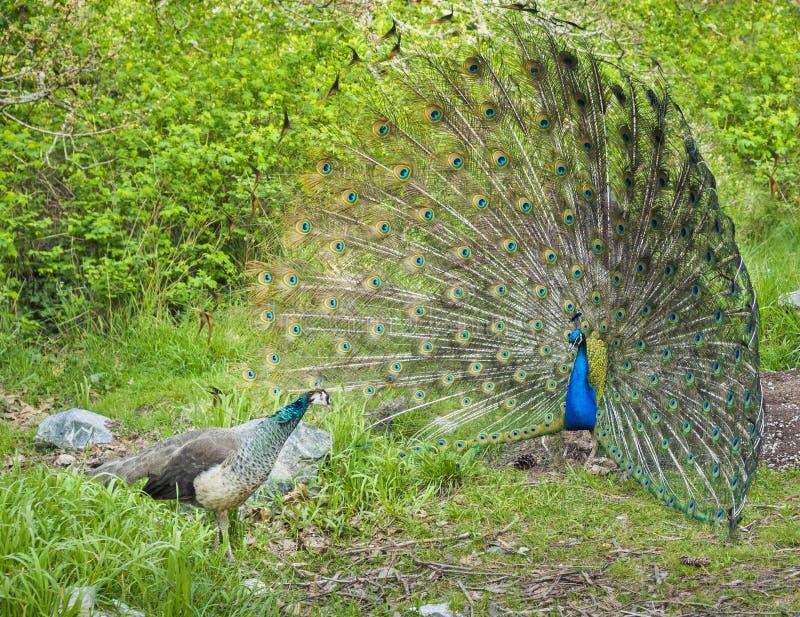 Uppvakta för påfågel och för påfågelshöna fotografering för bildbyråer