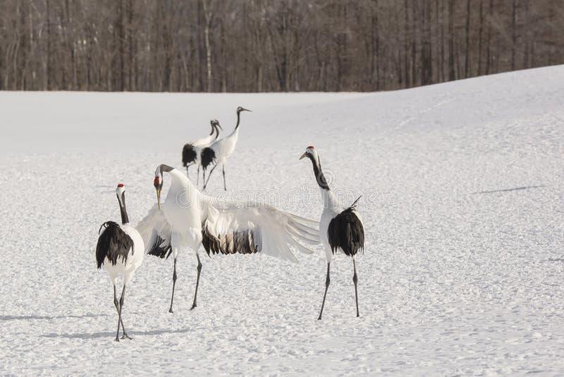 Uppvakta japan Crane Bowing arkivfoto