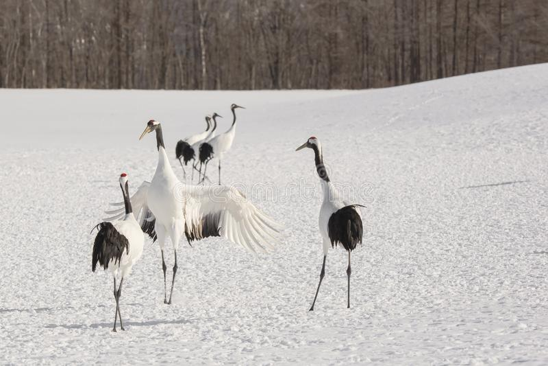 Uppvakta japan Crane Standing Tall arkivfoton