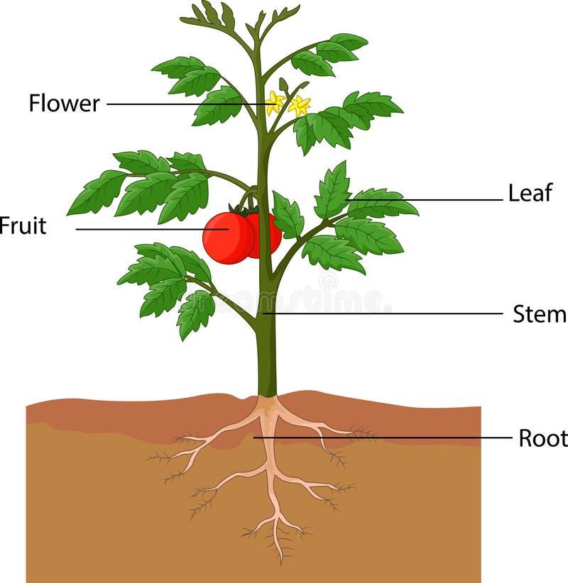 Uppvisning av delarna av en tomatväxt vektor illustrationer