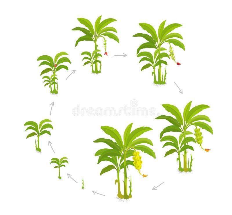 Uprawa cykl dla bananowego drzewa Uprawa reżyseruje banany palmowych r r Musa wektor royalty ilustracja