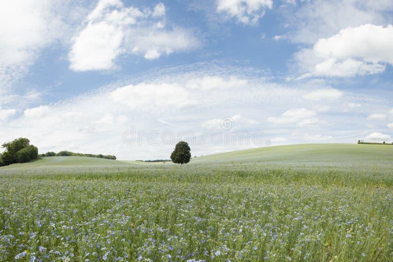 Uprawa linseed lub lna kwiecenie w polu obraz royalty free