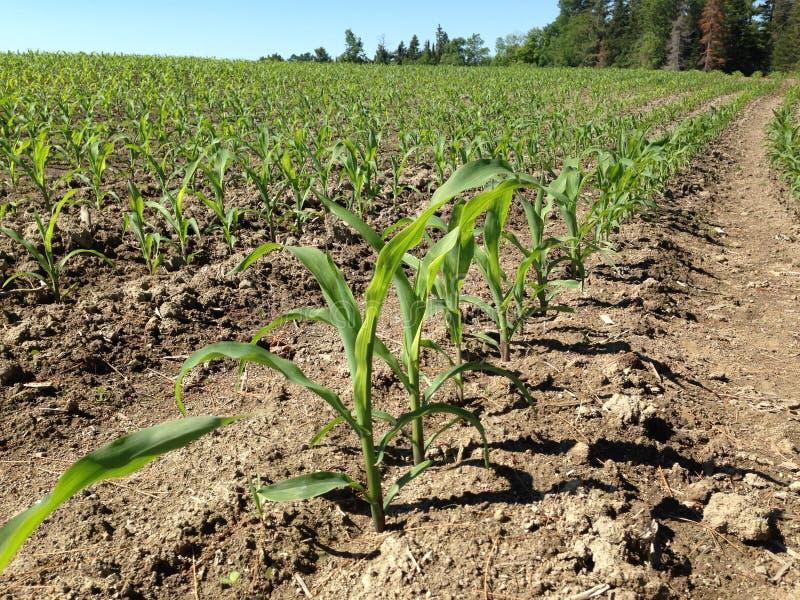 Uprawa Wiosłuje w rolnika polu obraz royalty free