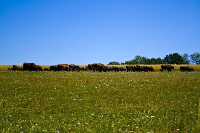 Uprawiać ziemię rancho Angus i Hereford bydło w Bavaria, Niemcy fotografia royalty free