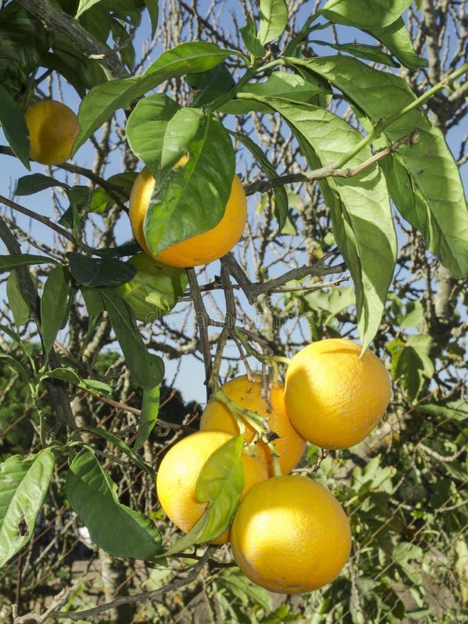 uprawia ogródek cytryny drzewa obrazy stock