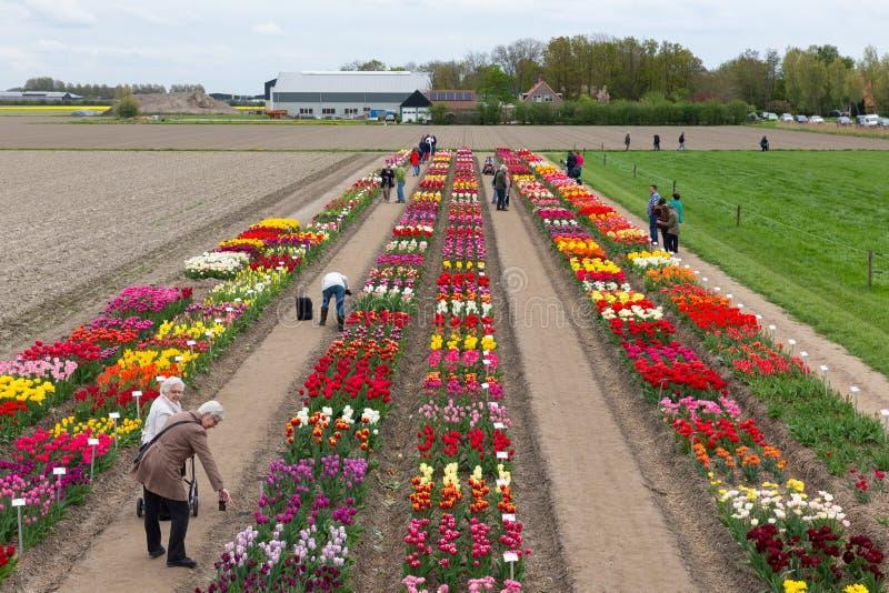 Uprawia ogródek z ekspozycją kilka tulipany typ holandie zdjęcia royalty free