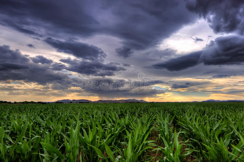 uprawy kukurydza fotografia stock