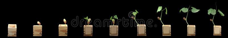 uprawy winorośli fasolki fotografia stock