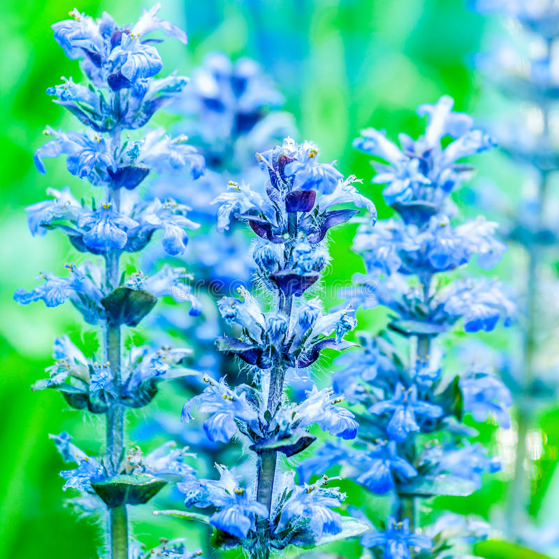 Download Upright bugle stock image. Image of plant, flowering - 41173391