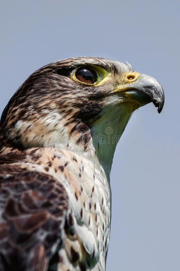 Upright falcon profile. Close up head portrait of a pere saker falcon hybrid against a natural blue sky background in an upright vertical format stock images