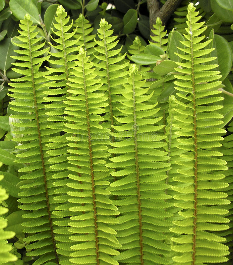 Upright fern. This picture was taken on a sunny day and what surprized me most, was the upright configuration of the fern's leaves, as though they were shielding stock photo