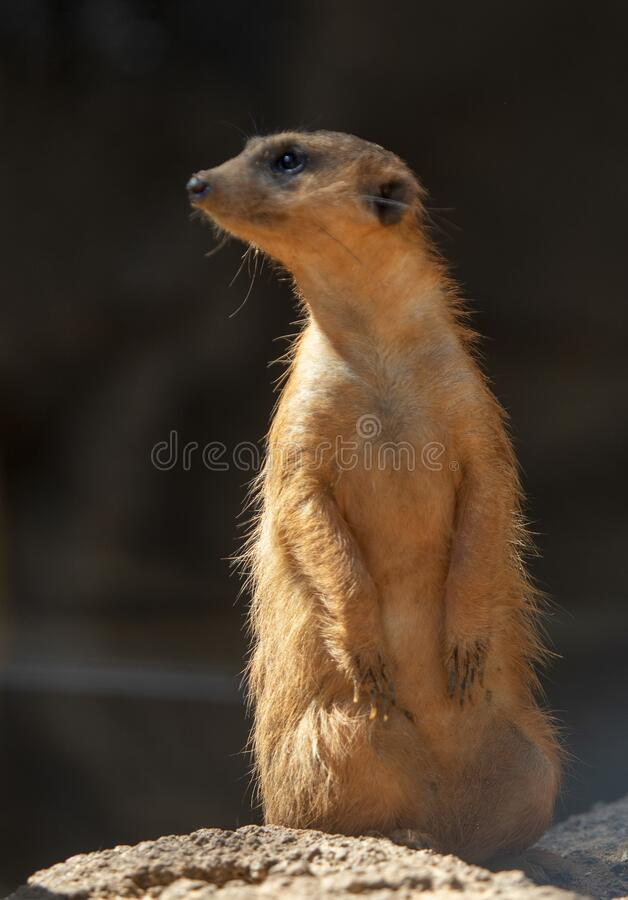 Upright meerkat royalty free stock image