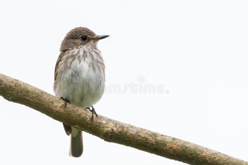 Upright spotted flycatcher. Perched on a diagonal branch isolated on a white background. North Devon, UK, June stock photos