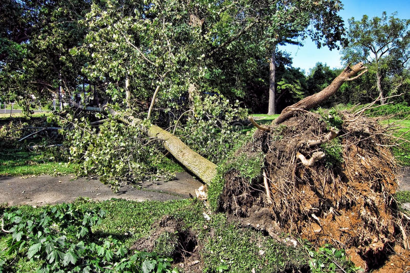 Uprooted Fallen Tree and Roots after a Hurricane stock photos