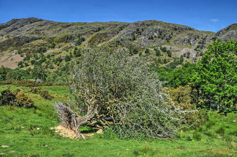 Uprooted tree in bloom. Uprooted hawthorn tree in the English Lake District, in bloom in spite of its unfortunate condition royalty free stock images