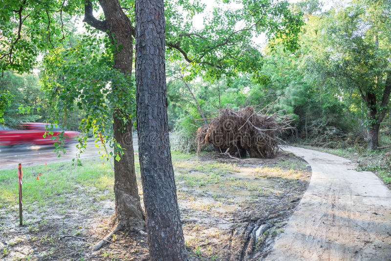 Uprooted Oak Tree. A large live oak tree uprooted by Harvey Hurricane Storm fell on bike/walk trail/pathway in suburban Kingwood, Northeast Houston, Texas, US royalty free stock photo