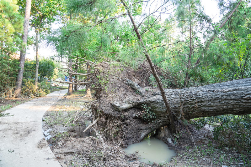 Uprooted Oak Tree. A large live oak tree uprooted by Harvey Hurricane Storm fell on bike/walk trail/pathway in suburban Kingwood, Northeast Houston, Texas, US royalty free stock photography
