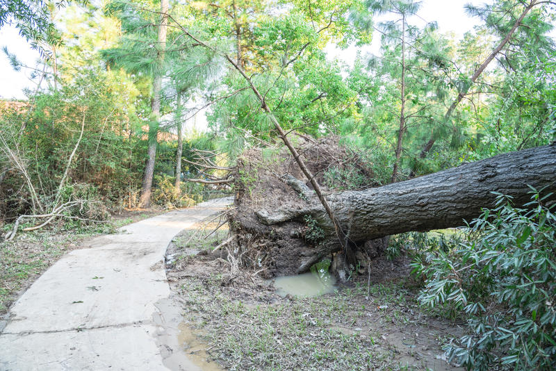 Uprooted Oak Tree. A large live oak tree uprooted by Harvey Hurricane Storm fell on bike/walk trail/pathway in suburban Kingwood, Northeast Houston, Texas, US stock photos