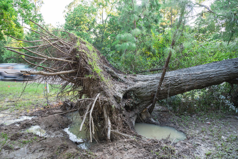 Uprooted Oak Tree. A large live oak tree uprooted by Harvey Hurricane Storm fell on bike/walk trail/pathway in suburban Kingwood, Northeast Houston, Texas, US stock photo
