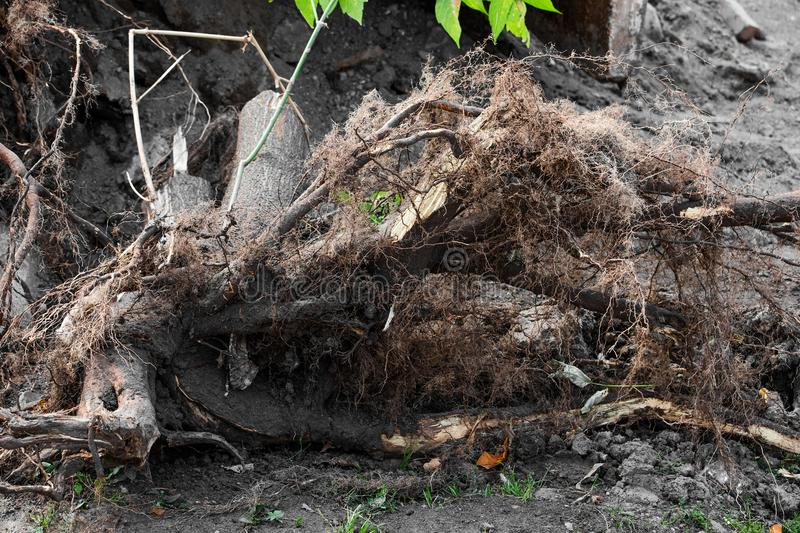 Uprooted roots of a tree. Is close royalty free stock images