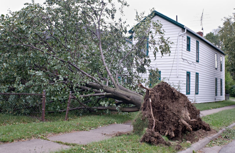 Uprooted after Storm. Tree uprooted after wind storm in the Midwest stock photos