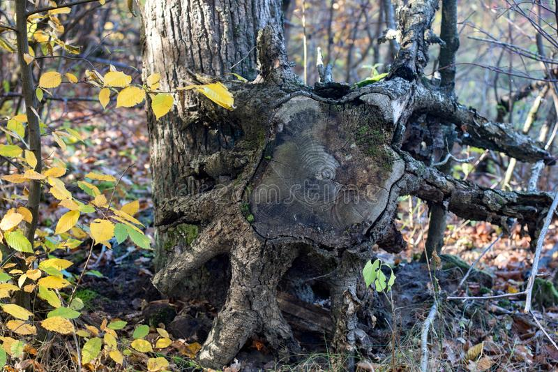 Uprooted stump in the forest. On the side royalty free stock image
