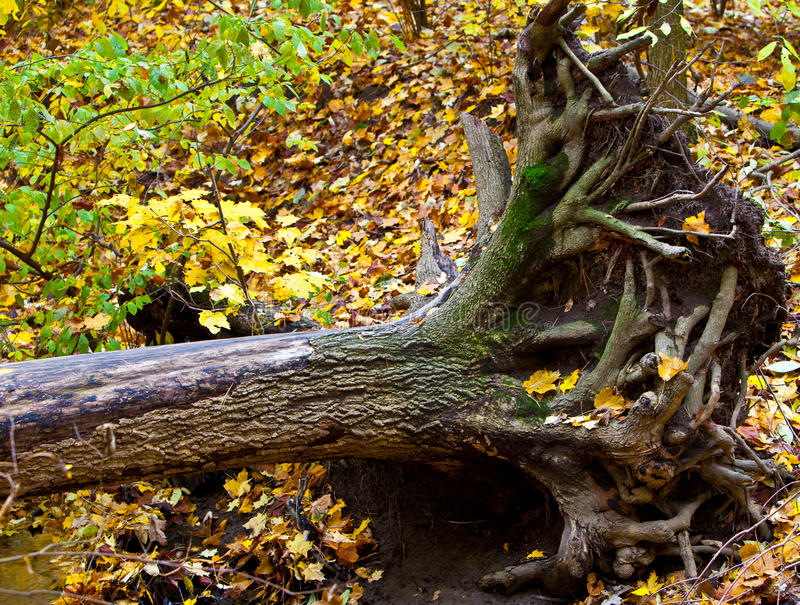 Uprooted Tree. Dead uprooted maple tree in the forest royalty free stock images