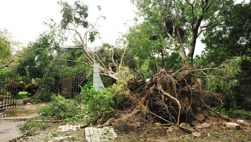 Uprooted tree. Damaged by typhoon royalty free stock photo