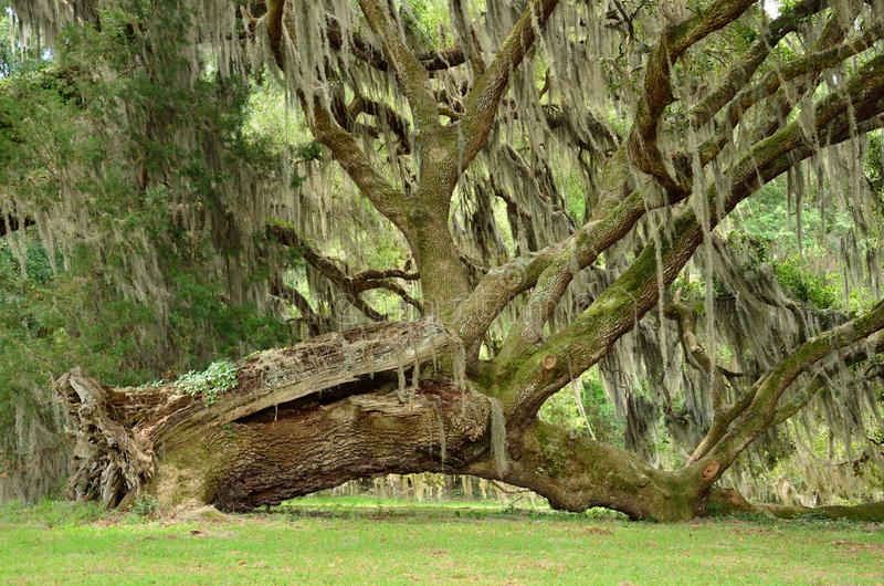 Uprooted tree. Uprooted oak tree still adds beauty to the landscape hosting ivy and Spanish moss royalty free stock images