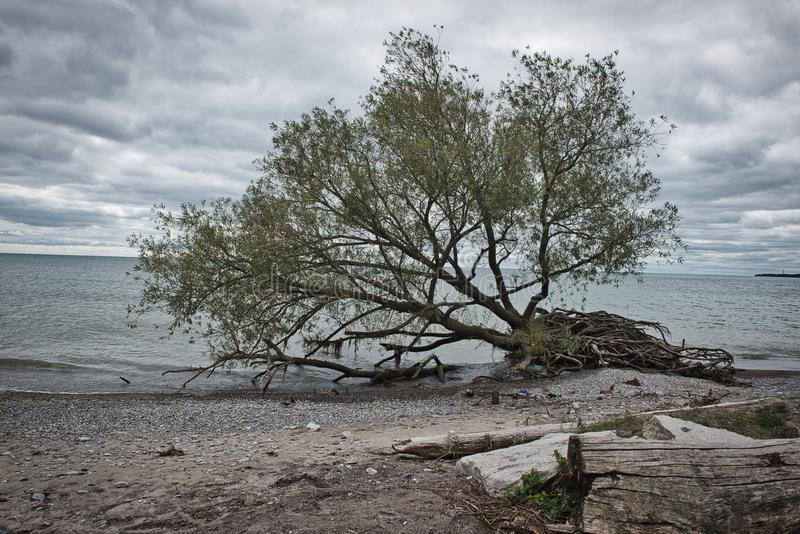 Uprooted tree by edge of blue lake water on a beach on a cloudy day. In Pickering royalty free stock image
