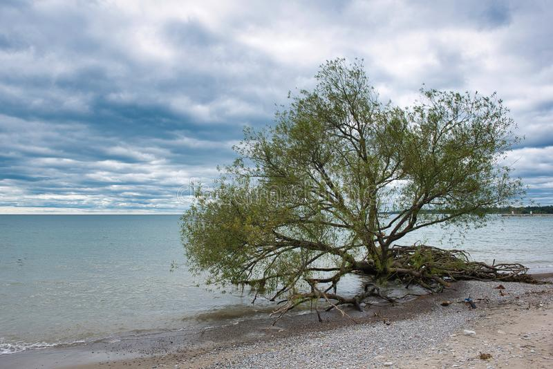 Uprooted tree by edge of blue lake water on a beach on a cloudy day. With blue sky stock images