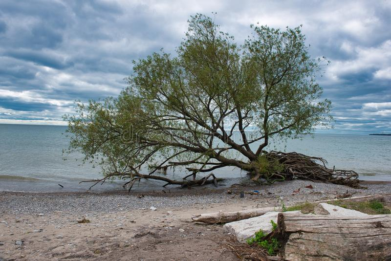 Uprooted tree by edge of blue lake water on a beach on a cloudy day. With blue sky royalty free stock photos